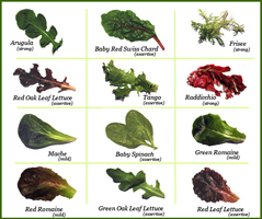 Chart showing different types of salad greens