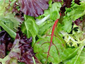 Salad greens contain flavanoids
